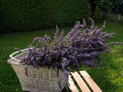 lavender em aix en provence