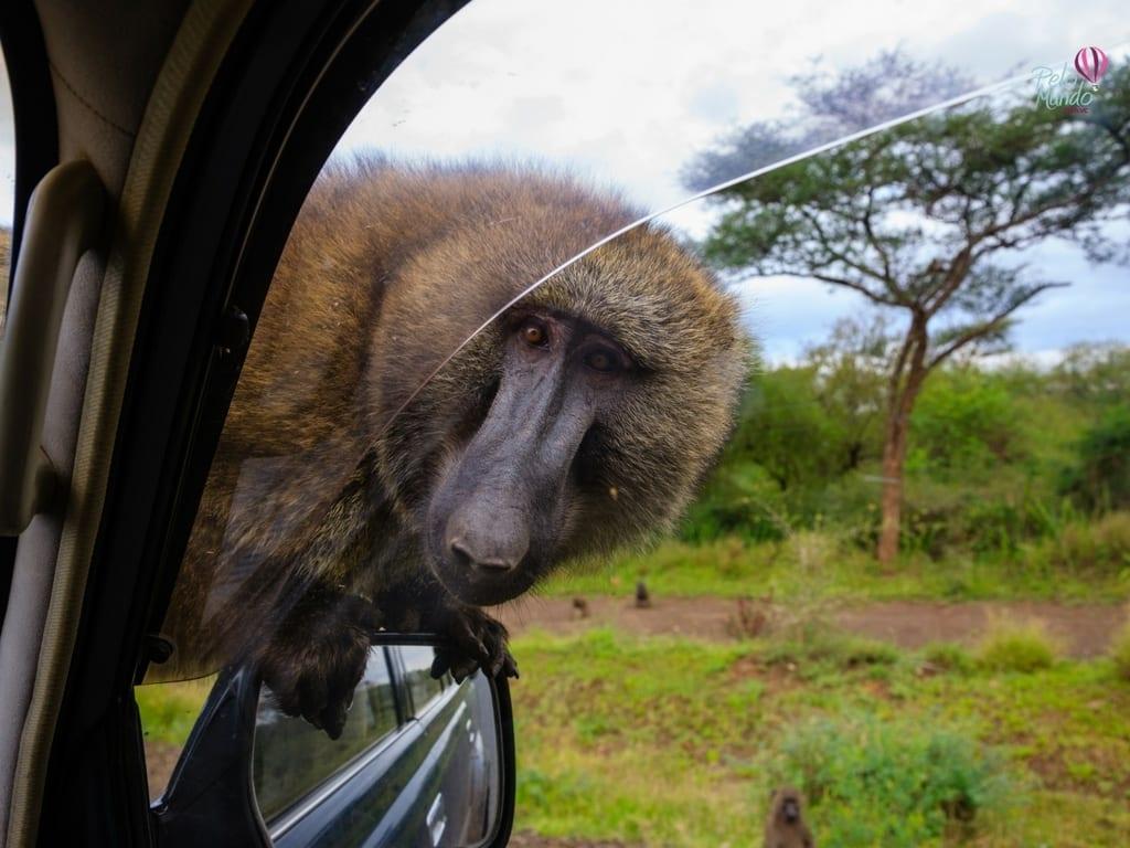 Babuínos na estrada do Cabo da Boa Esperança