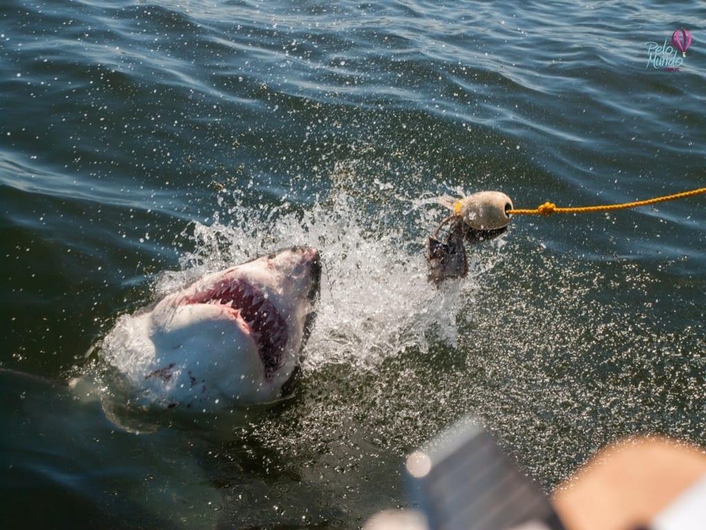 mergulho com tubarão em Gansbaai Africa do Sul
